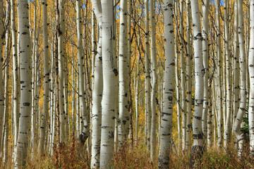 Golden fall aspens, Utah, USA.