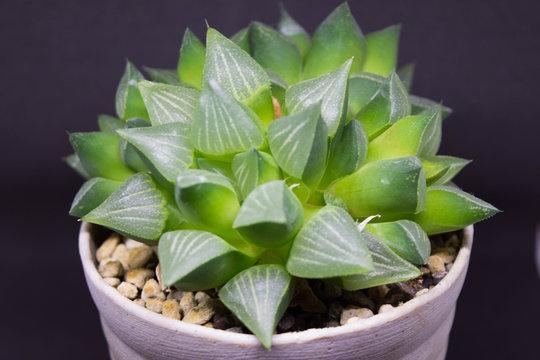 ハルオシア(Haworthia)・アロエ・植物