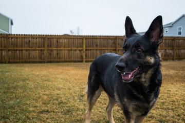 Happy black german shepherd