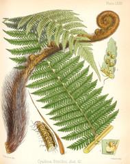 Cyathea smithii.