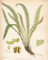 Lomaria bnksii