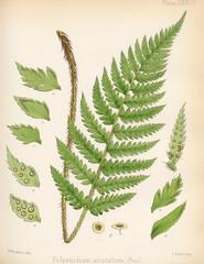 Polystichum aristatum.