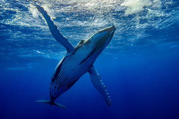 baleine qui téacceuil à pectorales ouvertes