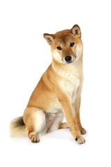 Red shiba inu dog