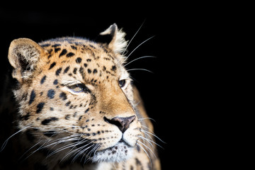 Amur leopard isolated on black