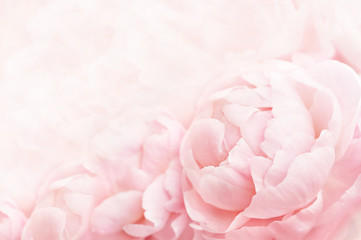 Obraz Summer blossoming delicate peony frame, blooming peonies flowers festive background, pastel and soft floral card, selective focus, toned - fototapety do salonu