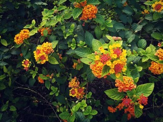 The bright flower heads of lantana or weeping lantana is blooming in the green garden. Vivid beautiful hedge flower.