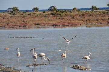 Flamingo in Lady's Mile Limassol