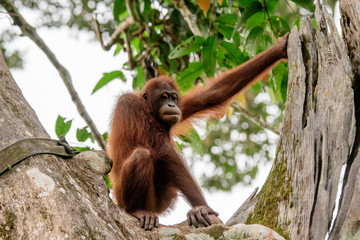 Orangutan observing proceedings from its perch
