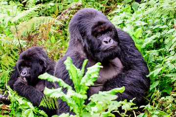 Silverback mountain gorilla with his girl