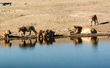 family group of lions at the waterhole