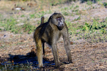 masterful Baboon showing off his physique
