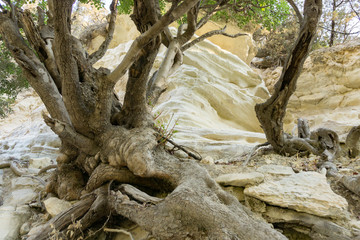 Old and spectacular tree roots in Cyprus