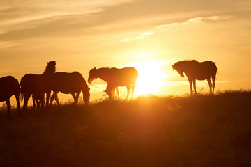Horses graze on pasture at sunset.   The horse (Equus ferus caballus) is one of two extant subspecies of Equus ferus. It is an odd-toed ungulate mammal belonging to the taxonomic family Equidae.