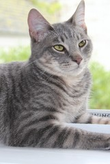 BEAUTIFUL GRAY TABBY CAT