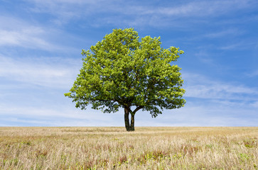 Tree with green leaves on the field in sunny day
