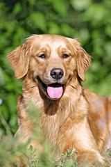 Portrait of beautiful Golden Retriever in grass, watching.