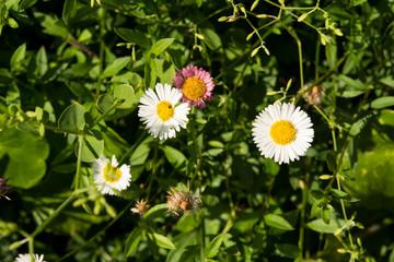 Wild daisy flowers, Macro picture