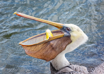 A Pelican Eating a Fish for Lunch