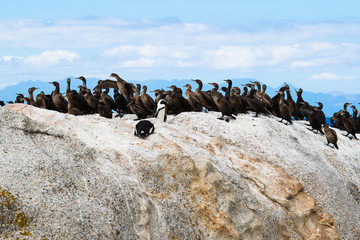 African penguins and Cape cormorant birds at Boulders Beach, South Africa