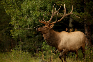 Large Bull elk with antlers