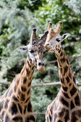 Giraffe in ZOO, Pilsen, Czech Republic
