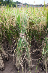 Front view of a bunch or rice plants ready for harvest.