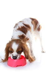 Dog eating animal food with red plastic bowl. Hungry dog photo illustration. Dog food with puppy. Cavalier king charles spaniel on isolated white studio background. Puppy eating in studio. Cute.