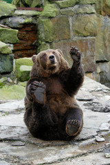 Playful friendly bear in a funny pose waving its paw.