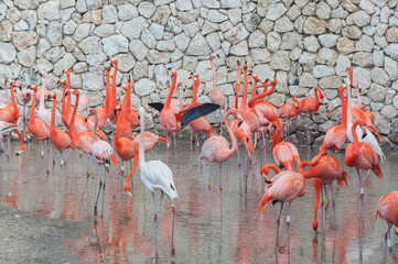 Pink flamingos standing in water