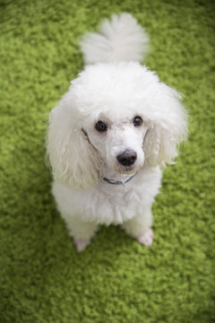 White French poodle