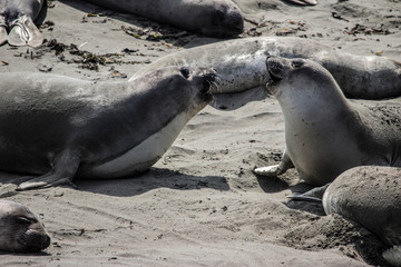 Laughing Elephant Seals
