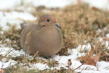 Fotoväggar - Mourning Dove in Snow