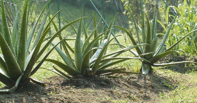 Aloe vera plant field