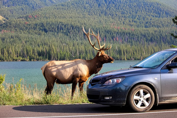 A elk bull along the highway as tourist vehicles stop dangerously close to it