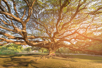 Under giant tree with sun light effect, natural landscape background