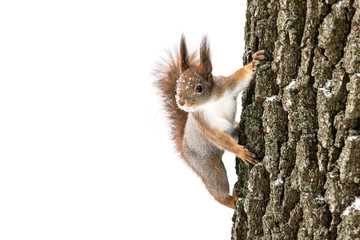 Poster de jardin Squirrel curious fluffy red squirrel sits on tree trunk and search for food on white background