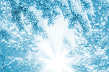 Snow-covered pine branches in the rays of the bright sun
