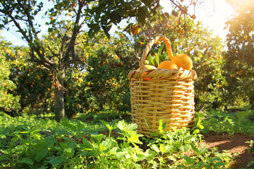 Basket with oranges in the citrus plantation.