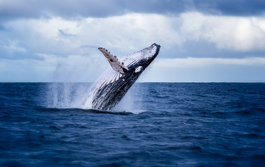 Humpback whale jumping out of the water in Australia. The whale is falling on its back and spraying water in the air.