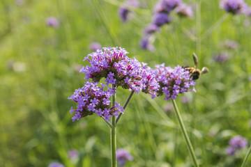 Beautiful purple flower of Verbena flowers on green background. Selective focus.