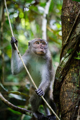 Posing wild Southern Pig-tailed Macaque in Sukau, Borneo Malaysia