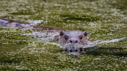 European fish otter