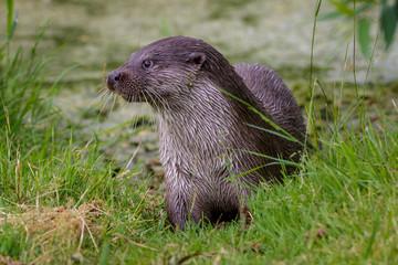 European fish otter