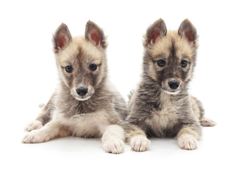 Two little puppies.