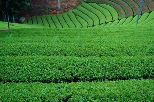 Matcha green tea plantation in Wazuka, Kyoto, Japan