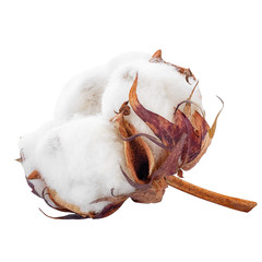 cotton flower isolated