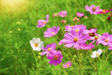 Beautiful Pink Cosmos Flowers with Sunlight