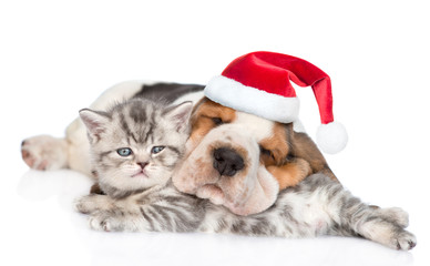 Basset hound puppy in red christmas hat sleeping with a kitten. isolated on white background