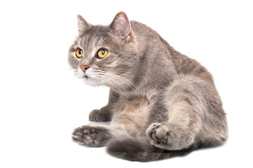 The gray cat sits on a bottom and looks forward and up, is isolated on white